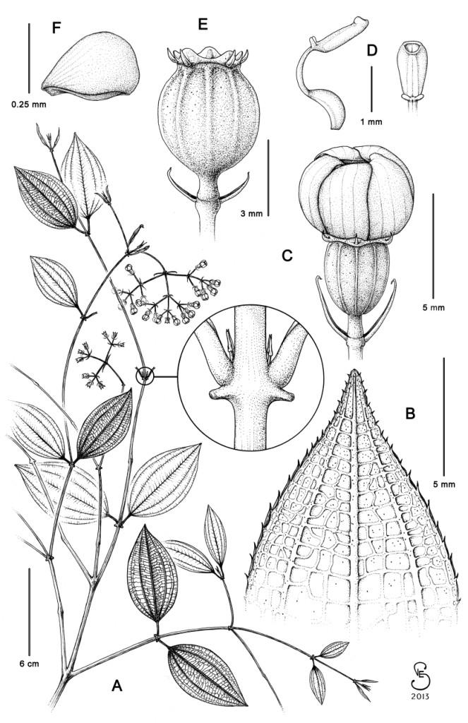 M. serraniaguensis_small